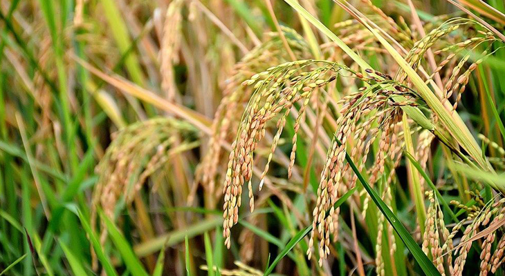 'GM-contaminated' rice sold by Maharashtra firm